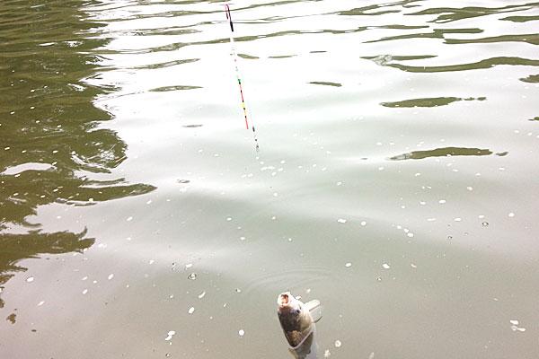 6-釣堀竿と数百円のヘラウキと適当な仕掛けでドンドン釣る