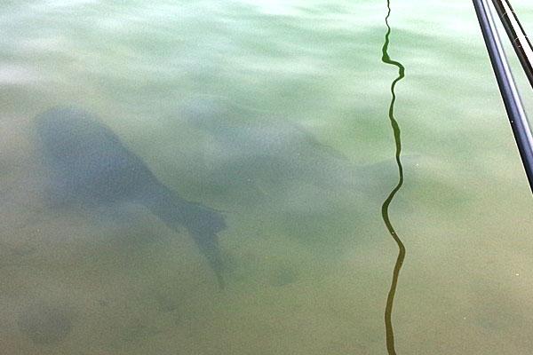 7-新潟県-見附市-大平森林公園-ヘラブナ釣り風の鯉釣り開始-ドンドン寄ってきた