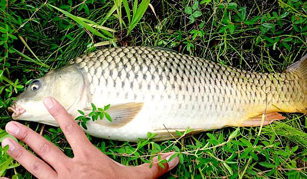 15-五目万能の釣果-40センチくらいの鯉