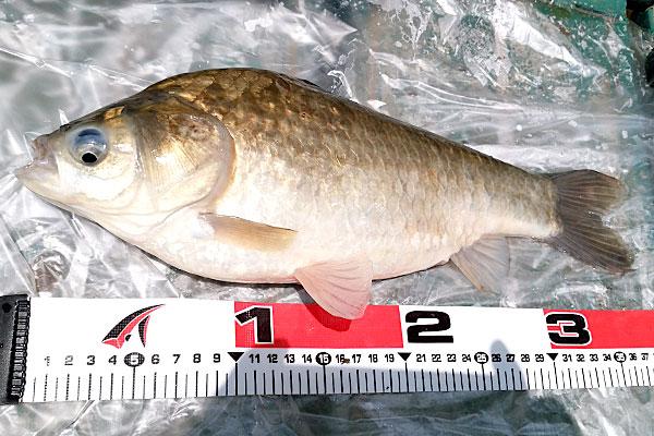 10-うかれ鯉-硬調390-13尺-銀水釣竿製作所-ヘラウキと延べ竿で鯉釣り-ヘラブナ-尺上37cmほど