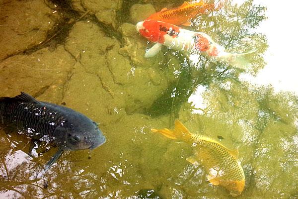 3-うかれ鯉-硬調390-13尺-銀水釣竿製作所-ヘラウキと延べ竿で鯉釣り-新潟県見附市-大平森林公園-もはや懐いている感の鯉たち