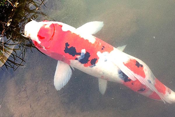 8-新潟県-見附市-大平森林公園-ヘラブナ釣り風の鯉釣り開始-以前釣ったことのある錦鯉