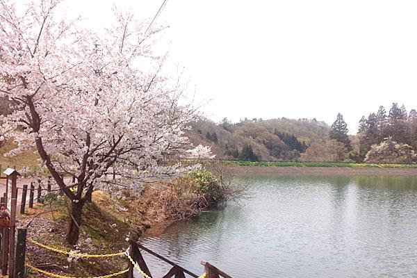 5-プチお花見-桜の花びらが舞い散りつつ