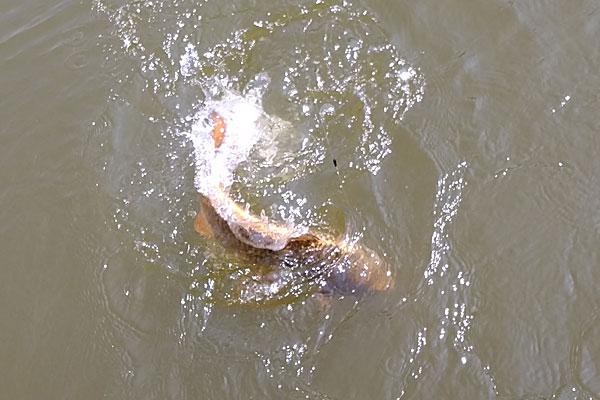 14-プロマリン-PRO-MARINE-PG-清風-240-万能-小継竿-長岡市いこいの広場-市民釣場-黄金色の鯉が寄ってこない