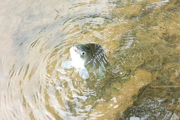 9-うかれ鯉-硬調390-13尺-銀水釣竿製作所-ヘラウキと延べ竿で鯉釣り-次々に釣れるヘラブナ