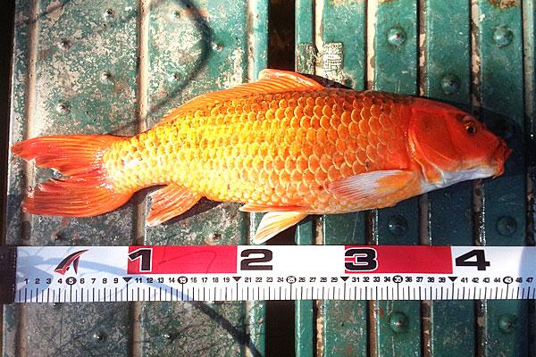 9-45センチほどの緋鯉