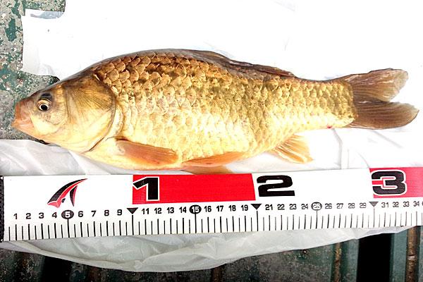 6-うかれ鯉-硬調390-13尺-銀水釣竿製作所-ヘラウキと延べ竿で鯉釣り-キンブナ-尺上34cmほど